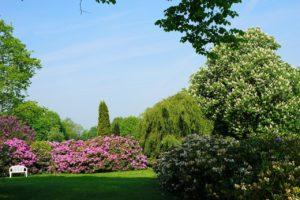 rododendron, wakker in het park